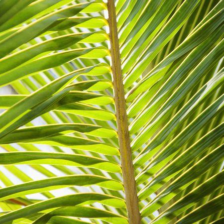 palm frond: Primo piano di frond palma.  Archivio Fotografico