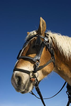 blinders: Side view of draft horse in harness and blinders.