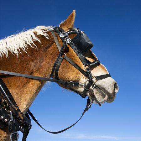 blinkers: Draft horse.