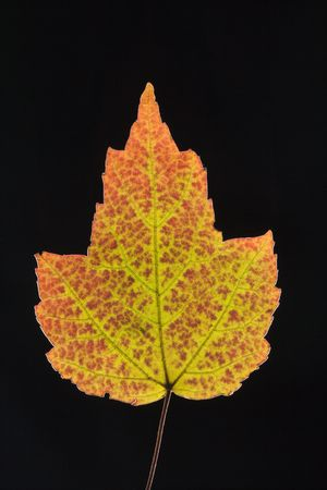 red maple leaf: Red Maple leaf in Fall color against black background.
