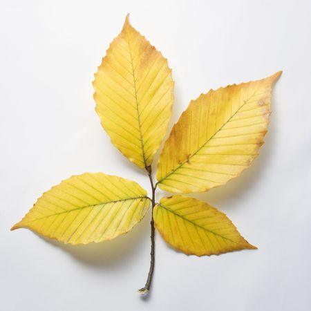 fagus grandifolia: Beach tree leaves. Stock Photo