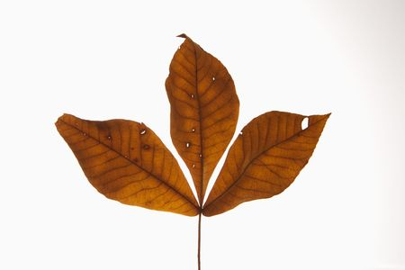 Branch of three brown Hickory leaves against white background. photo