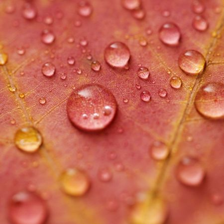 saccharum: Close-up of Sugar Maple leaf in Fall color sprinkled with water droplets.