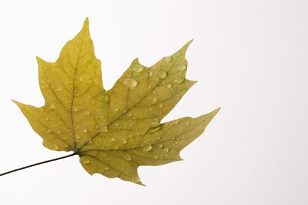 sugar maple: Sugar Maple leaf sprinkled with water droplets on white background.