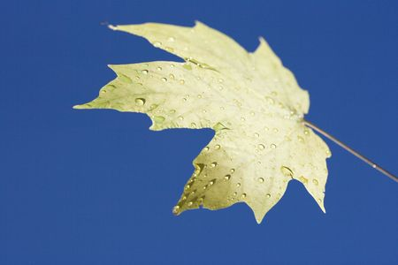 sugar maple: Sugar Maple leaf sprinkled with water droplets against blue background.