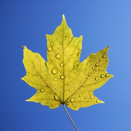 Sugar Maple leaf sprinkled with water droplets against blue background. photo