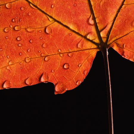Close-up of Sugar Maple leaf  in Fall color sprinkled with water droplets against black background. photo