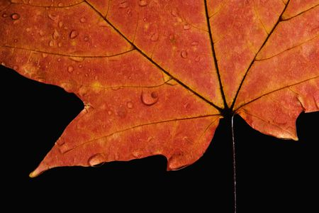 sugar maple: Close-up of Sugar Maple leaf in Fall color sprinkled with water droplets against black background. Stock Photo