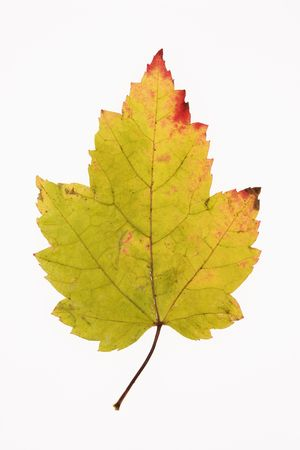 red maple leaf: Red Maple leaf in Fall color against white background.