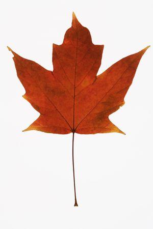 sugar maple: Red Sugar Maple leaf against white background.
