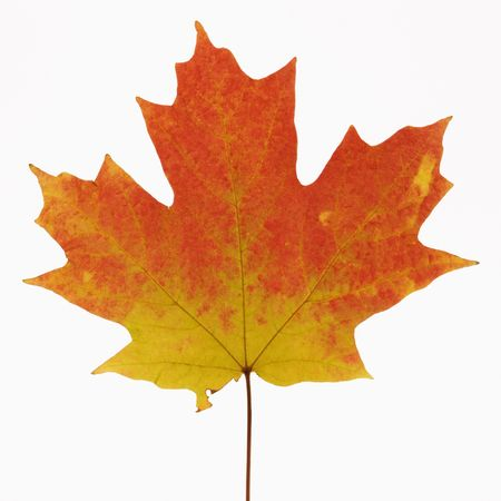 saccharum: Sugar Maple leaf in Fall color against white background. Stock Photo