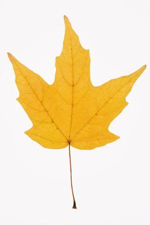 sugar maple: Yellow Sugar Maple leaf against white background. Stock Photo