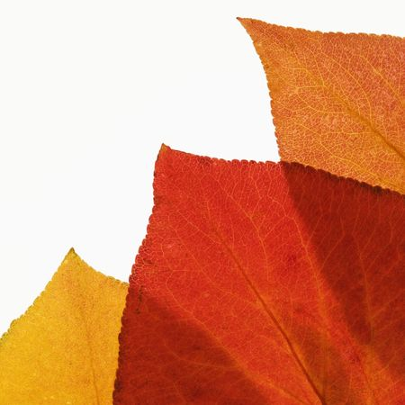 Bradford Pear leaves in Fall color against white background. photo