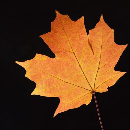 sugar maple: Red Sugar Maple leaf against black background.