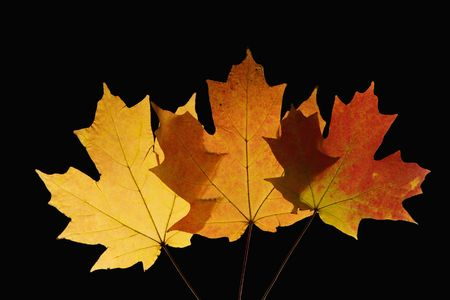 Three Sugar Maple leaves against black background. photo