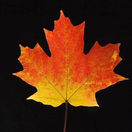 sugar maple: Sugar Maple leaf against black background.