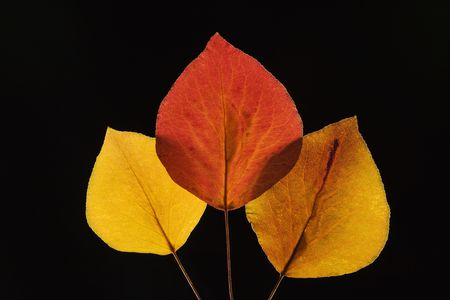 Bradford Pear leaves in Fall color against black background. photo