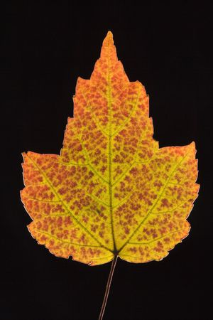red maple leaf: Red Maple leaf in fall colors against black background.