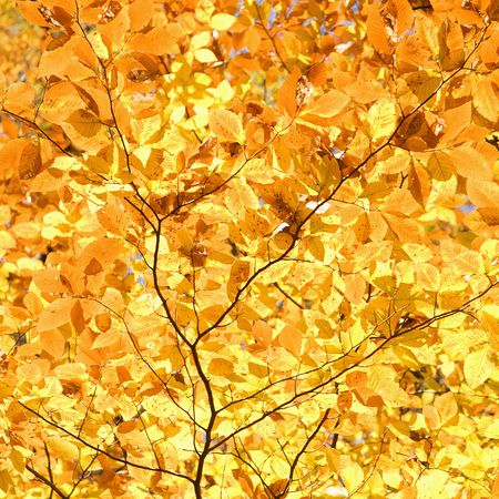 fagus grandifolia: Close-up of American Beech tree branches covered with bright yellow Fall leaves.