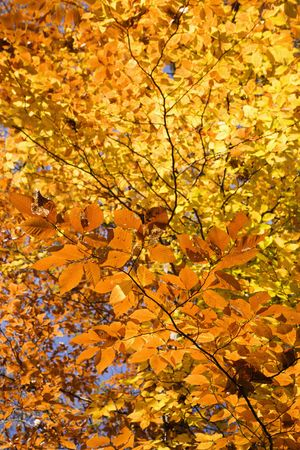 fagus grandifolia: Close-up of American Beech tree branches covered with brightly colored Fall leaves. Stock Photo