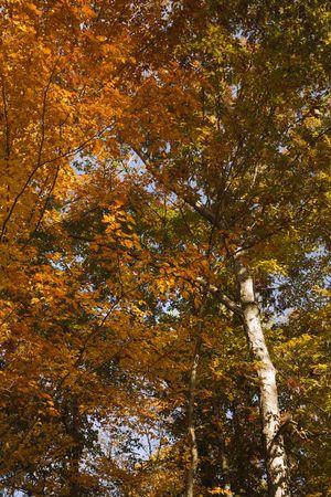 fagus grandifolia: American Beech trees exhbiting full Fall colors. Stock Photo