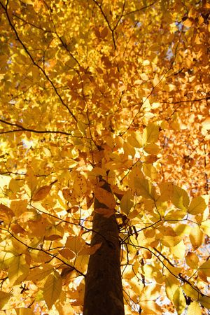 fagus grandifolia: American Beech tree branches covered with yellow Fall leaves. Stock Photo