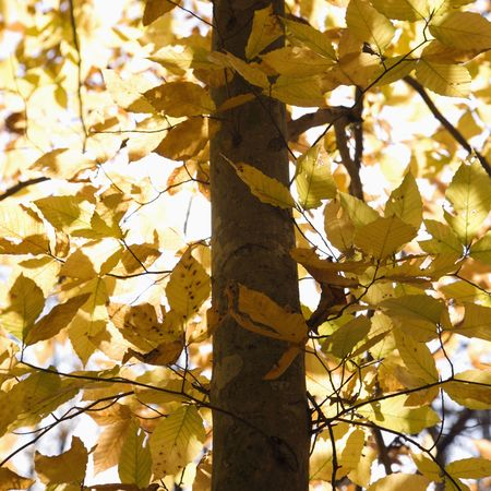 fagus grandifolia: Close-up of American Beech tree branches covered with yellow Fall leaves.