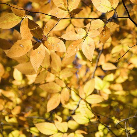 fagus grandifolia: Yellow tree leaves.