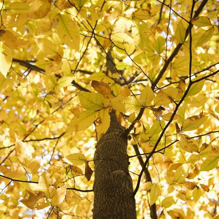 american beech: Tree with yellow Fall foliage.