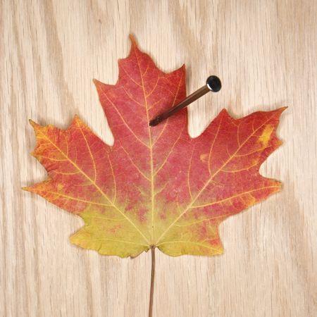 nailed: Nailed maple leaf. Stock Photo