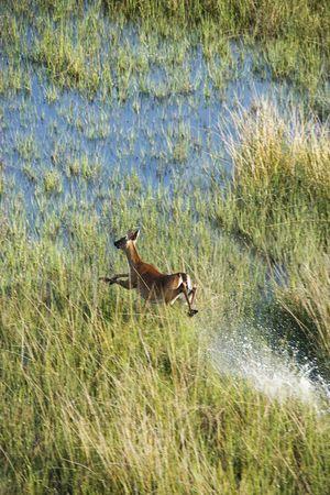 white tail: Punto di vista aereo dei cervi bianchi della coda che funzionano velocemente attraverso lacqua e lerba della palude sullisola capa calva, North.carolina.