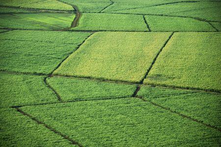 Aerial of sugarcane crops in Maui, Hawaii.