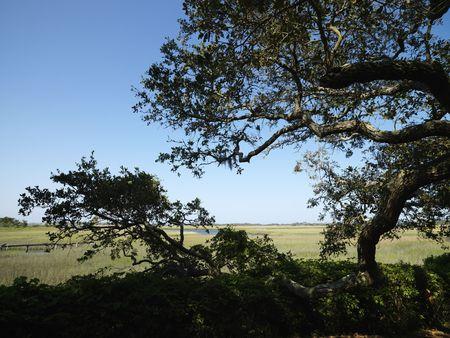 bald head island: Live oak tree with wetland and stream in background at Bald Head Island, North Carolina.