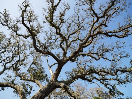 bald head island: Low angle view of branches of live oak tree with blue sky in background.