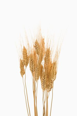 sprigs: Several sprigs of dried wheat. Stock Photo