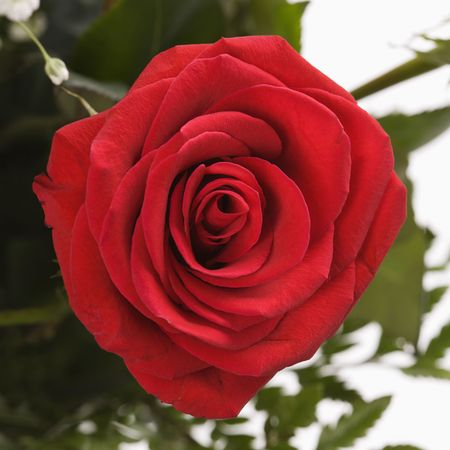 Close-up of red rose against white background. photo