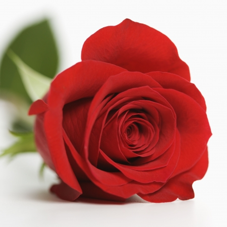 Close-up of single red rose against white background.