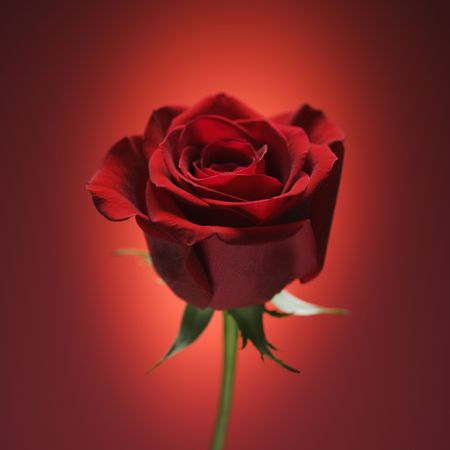 Single long-stemmed red rose against glowing red background. photo