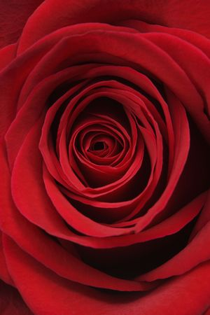amore: Close-up of red rose.