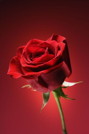 amore: Single long-stemmed red rose against glowing red background. Stock Photo