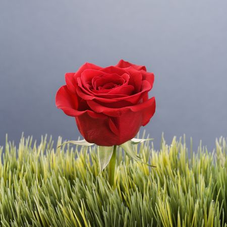 Single red rose growing out of artificial green grass. photo