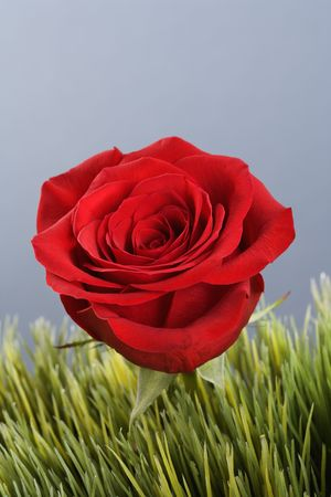 amore: Single red rose growing out of artificial green grass.