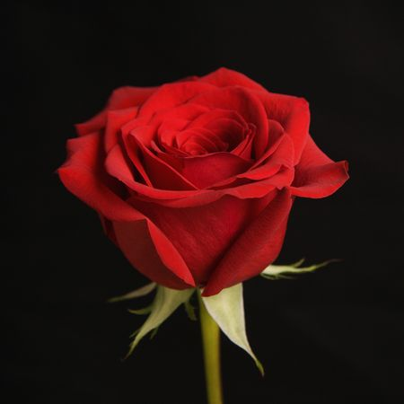 amore: Single long-stemmed red rose against black background.