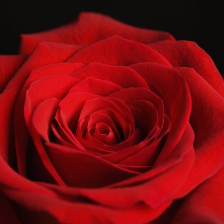 Close-up of red rose against black background. photo