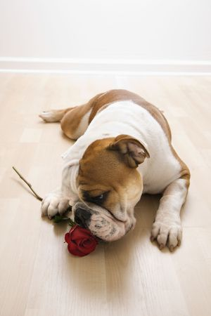 valentines dog: English Bulldog lying on floor sniffing long-stemmed red rose.