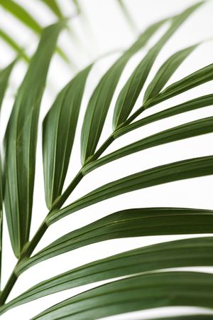 palm frond: Fronda di palma.
