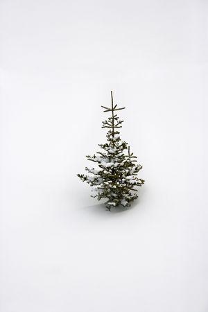 lone pine: Lone �rbol de pino en la nieve.