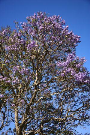 �rbol de jacaranda en flor púrpura con flores de color azul contra el cielo en Maui, Hawai. Foto de archivo - 2214032