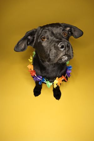 leis: Black puppy sitting wearing leis.