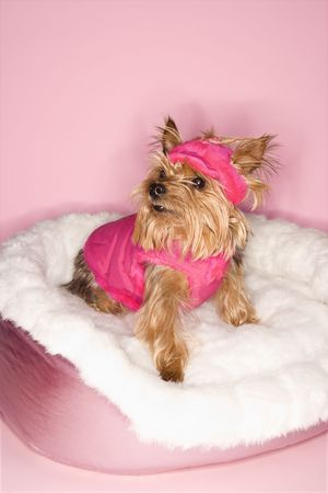 yorkshire terrier: Yorkshire Terrier dog wearing pink outfit on pink dog bed.